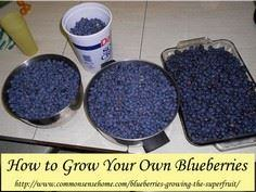 How to Grow Your Own Blueberries - - 200 Delicious Blueberry Recipes - RecipePin.com