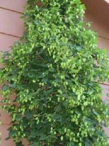 Cascade hops vine. Gorgeous climbe - 300 Homebrewing Recipes to Brew at Home - RecipePin.com