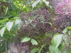 Elderberry Mead 2 Qt. ripe elderbe) 1 tsp. vanilla (dextrose if possible) 2 Qt. honey 1/4 c. lemon peel 1 T. minced crystallized ginger 1/4 t. clove 1/4 t. allspice 2 packet of champagne yeast or 2 envelopes dry yeast - 300 Homebrewing Recipes to Brew at Home - RecipePin.com